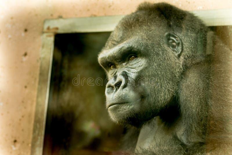 Gorilla stock afbeeldingen