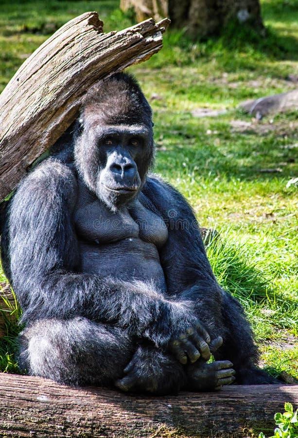 gorilla immagini stock