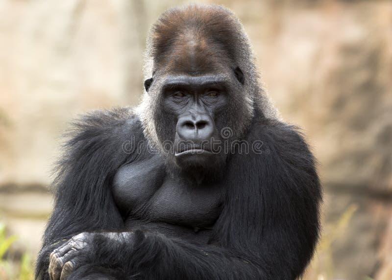 gorilla fotografia de stock