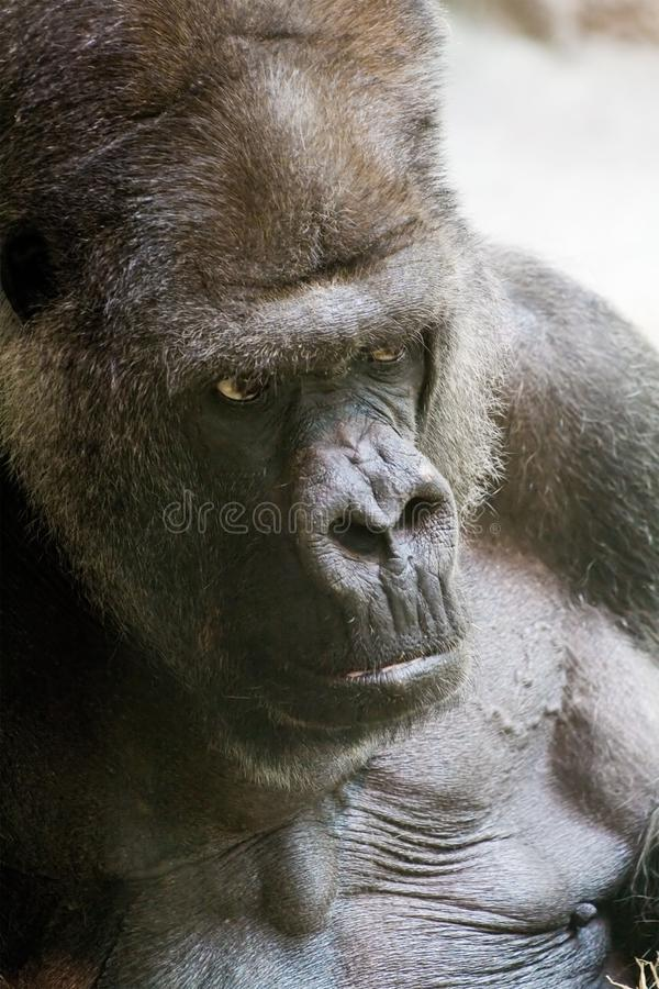 Download Gorilla stock photo. Image of mountain, lowland, animal - 875524