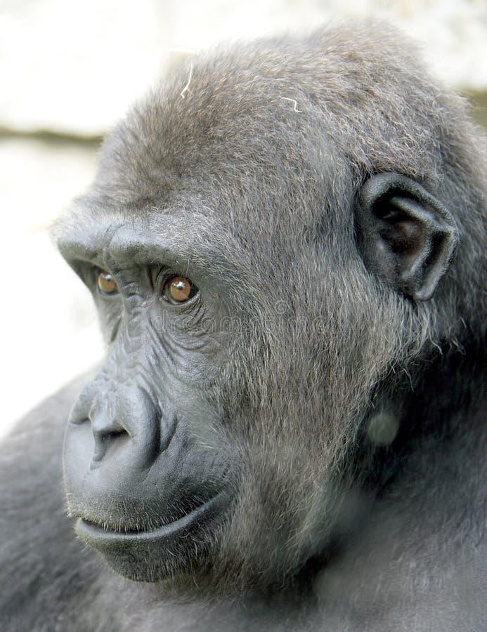 gorilla 9 arkivbild