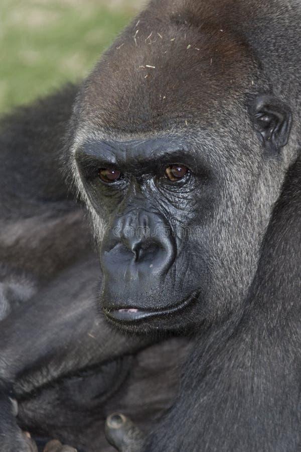 gorilla arkivbilder