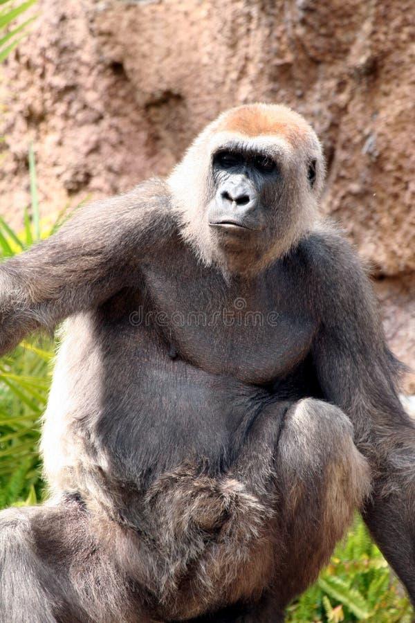 Gorilla. Female Lowland Gorilla Looking Serious stock photos