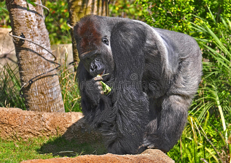 Gorilla royalty-vrije stock afbeelding