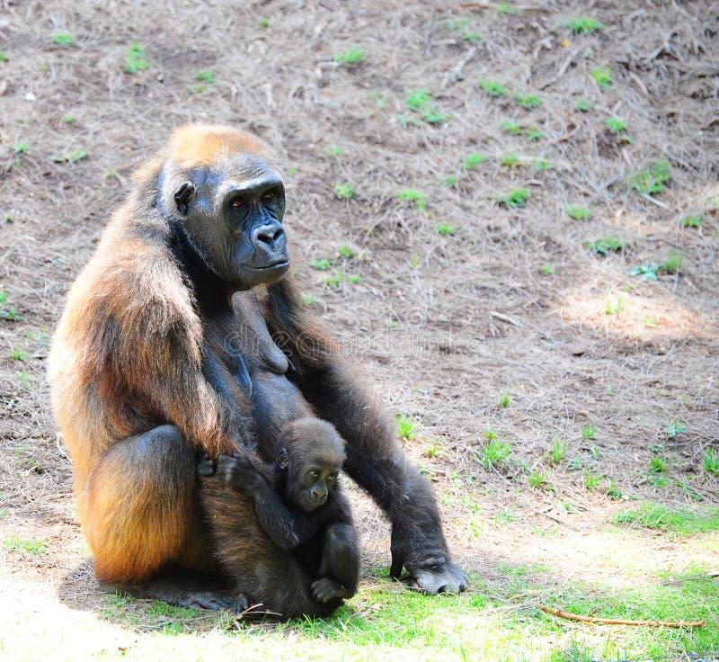 Download Gorilla stock photo. Image of female, ancestor, funny - 9765872
