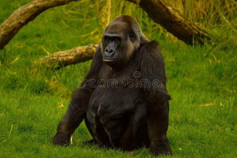 Gorilla allo zoo di Londra fotografia stock libera da diritti