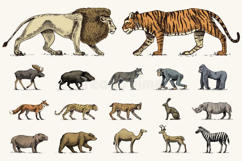 Gorilla, Amerikaanse elanden of Europees-Aziatische elanden, kameel en herten, rinoceros hazen, wolf en beer met getrokken leeuw  vector illustratie