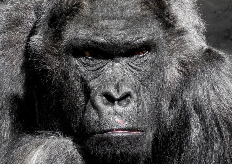 Gorilla Animal royalty free stock images