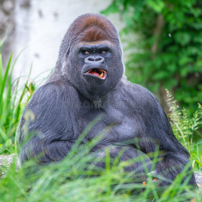 Gorilla apa fotografering för bildbyråer