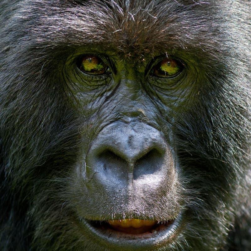 Gorilla. Ape monkey face muzzle look head africa Congo wildlife royalty free stock photography