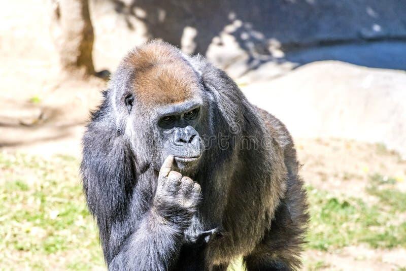 Gorilla autorevole del Silverback immagini stock