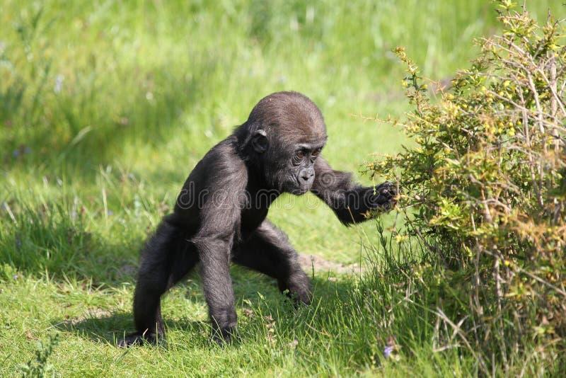 Gorilla baby royalty free stock photography
