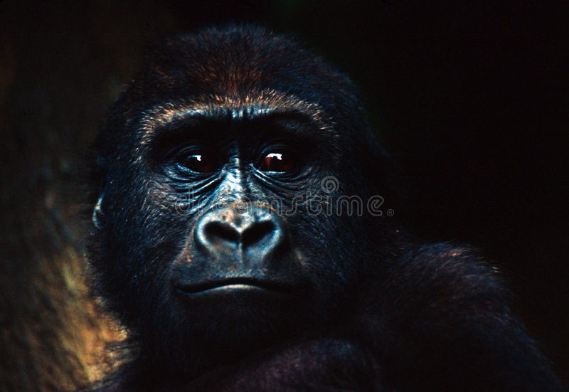 Download Gorilla Baby stock image. Image of wild, tropical, portrait - 76191