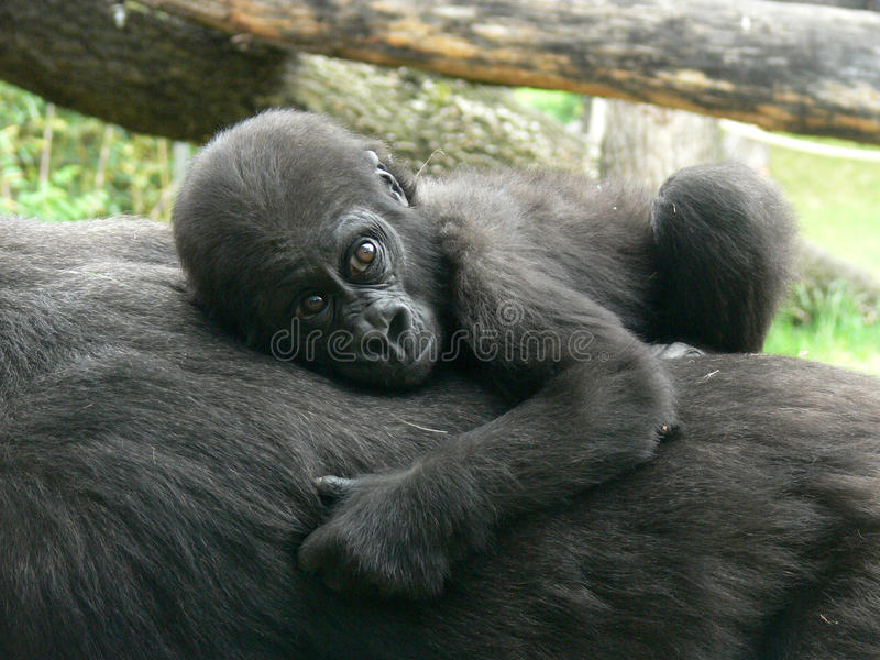 Gorilla baby stock images