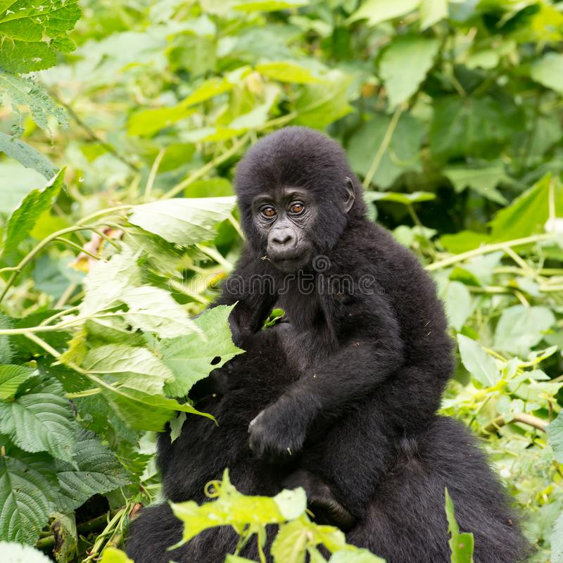 Gorilla Baby on mum`s back in mountain rainforest of Bwindi Impenetrable Forest Nationalpark, Uganda royalty free stock images