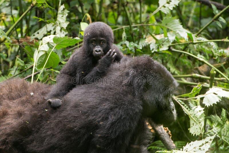 Gorilla Baby na parte traseira da mãe, floresta úmida da montanha, Uganda imagens de stock royalty free