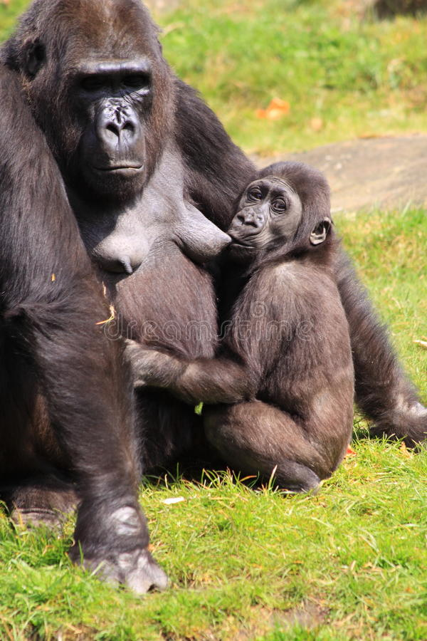 Free Gorilla Baby Nursing Royalty Free Stock Photos - 30777028
