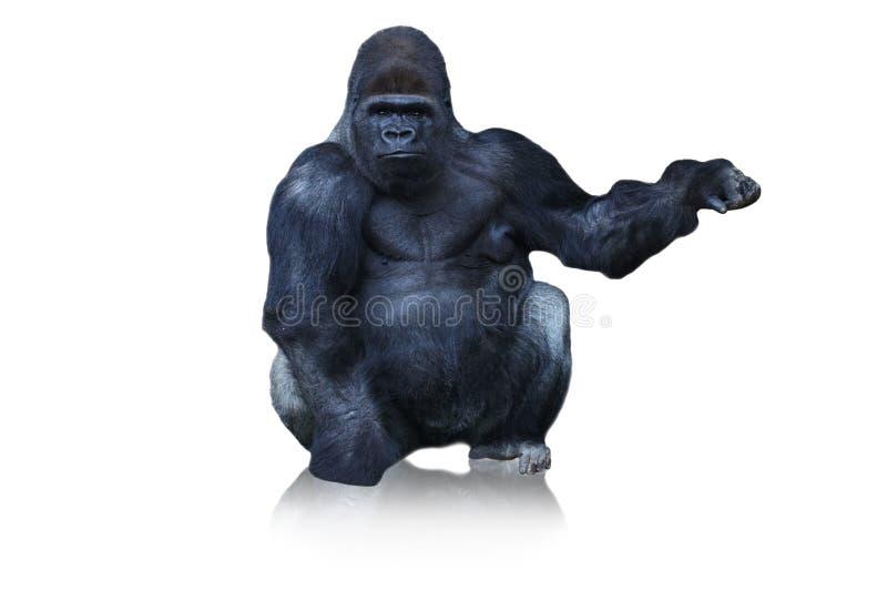 Gorilla. royalty free stock image