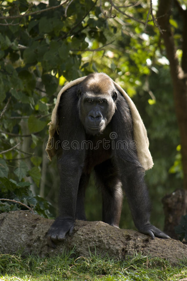 Download Gorilla with a Blanket stock photo. Image of play, monkey - 11151536
