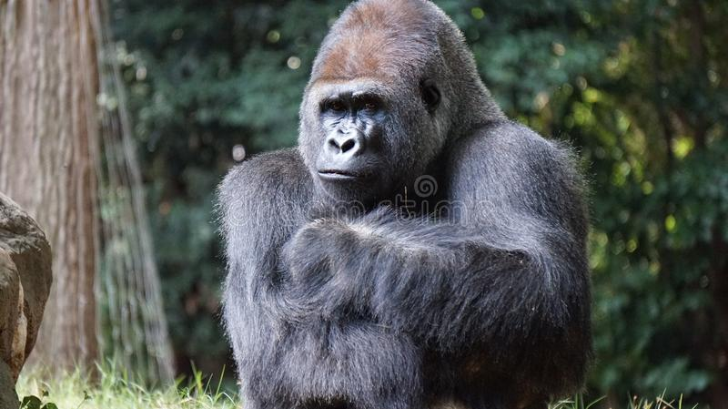 Gorilla Beside Brown Rock Free Public Domain Cc0 Image