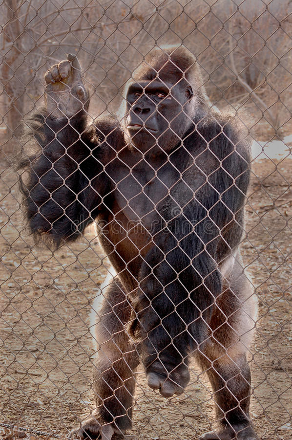 Gorilla In Cage Free Public Domain Cc0 Image