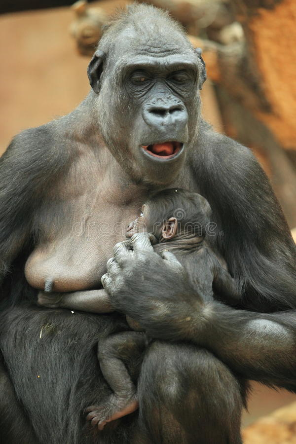 Download Gorilla care stock image. Image of breast, sucking, mammal - 28740873