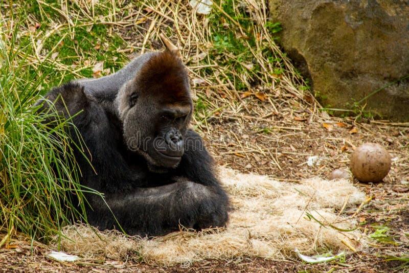 gorilla Carregado estar selvagem e livre fotos de stock royalty free