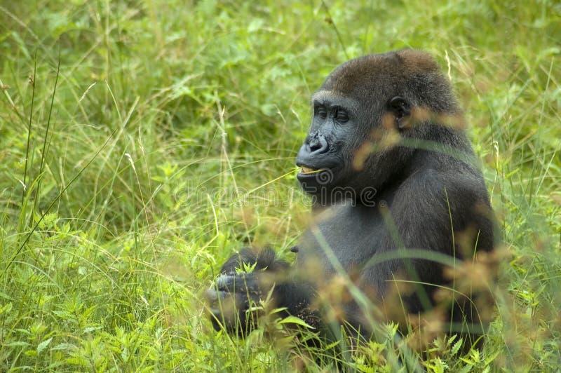 Gorilla che mangia una certa erba fotografia stock libera da diritti