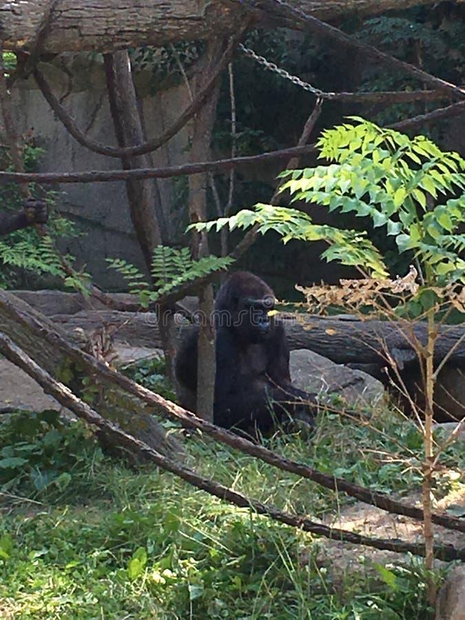 Gorilla at Cincinnati zoo stock images