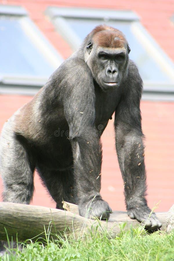 Gorilla in city stock photo
