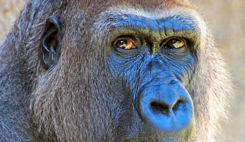 Gorilla. Close Up Portrait Of Female Gorilla Eyes stock photos