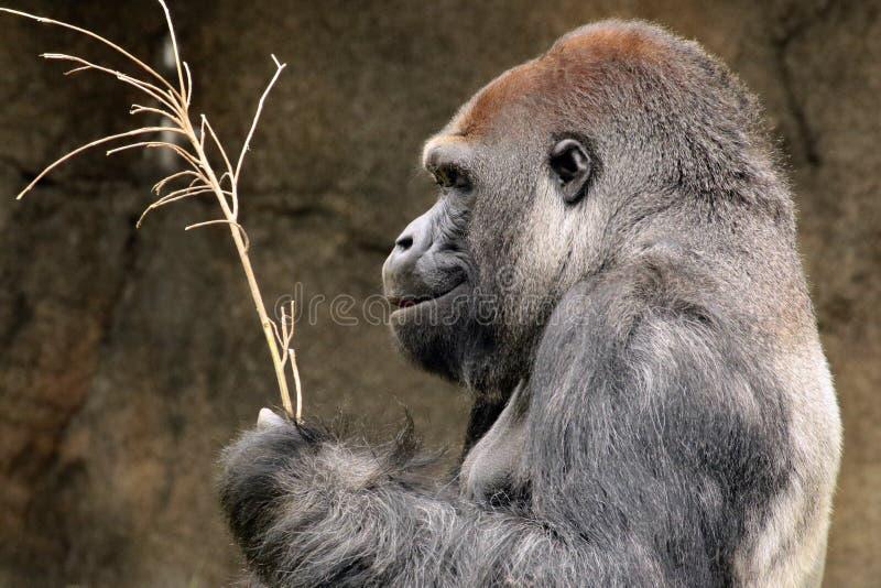 Gorilla. Close up portrait of Western Lowland Gorilla stock image