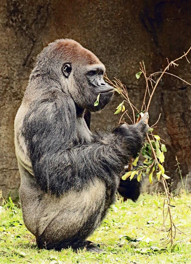 Gorilla. Close up portrait of Western Lowland Gorilla stock photos