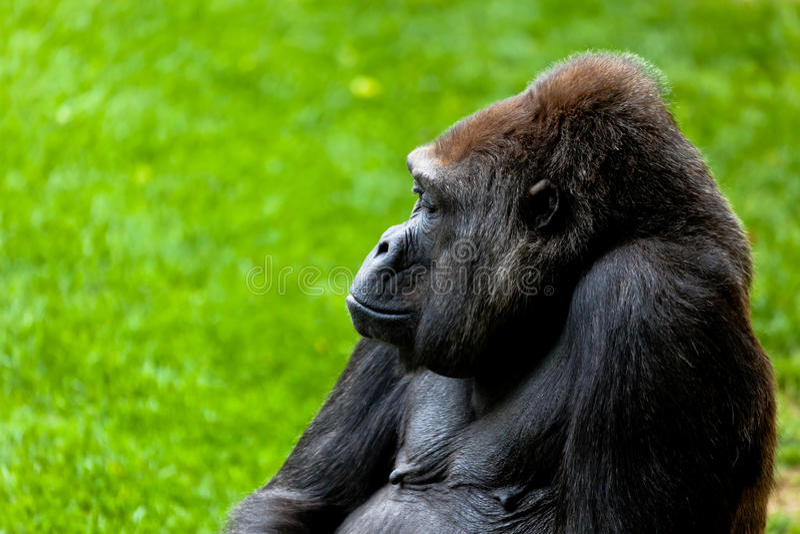 Gorilla of coast, Gorilla gorilla stock photos