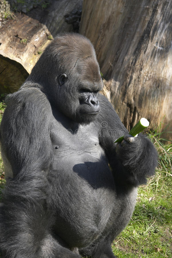 Gorilla Considering A Cucumber Royalty Free Stock Image