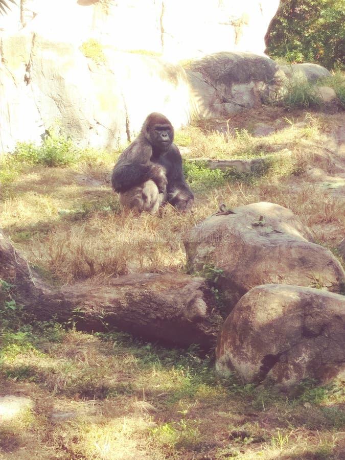 Gorilla dai giardini di Busch fotografie stock libere da diritti