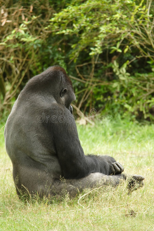 Gorilla della pianura immagine stock