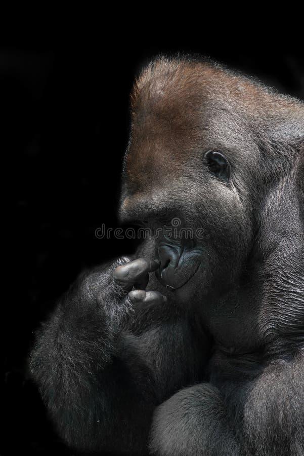 Gorilla della pianura di Silverback immagine stock