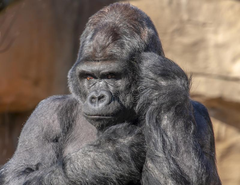 Gorilla, den Blicke ihn mögen, spricht am Telefon lizenzfreie stockfotos