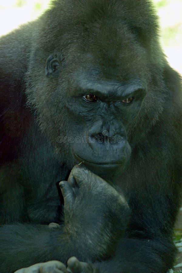Gorilla-Denken lizenzfreies stockbild