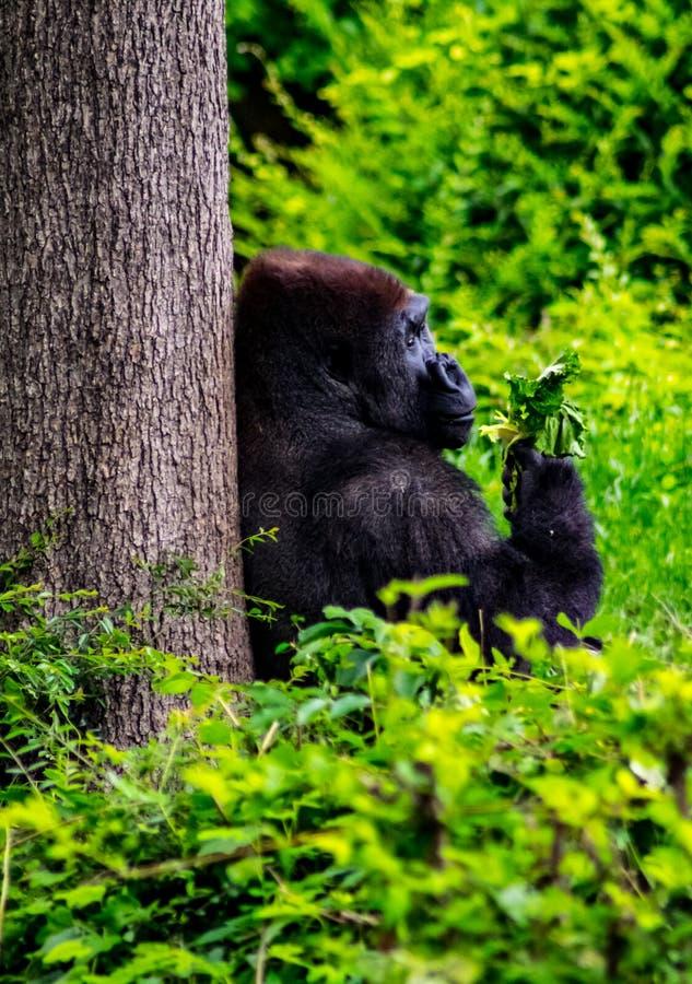 Gorilla, der unter einem Baum isst lizenzfreies stockbild