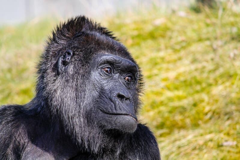 Gorilla, der zum Seitenprofilkopfporträt schaut lizenzfreie stockfotografie