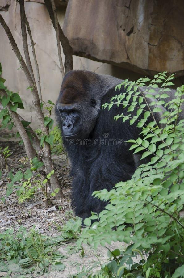 Gorilla des westlichen Tieflandes stockbilder