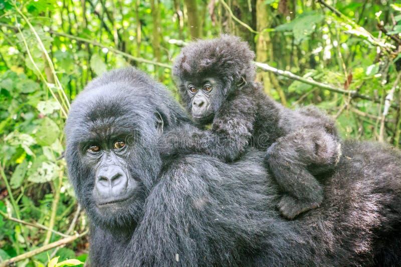 Gorilla di montagna del bambino sul retro di sua madre immagine stock