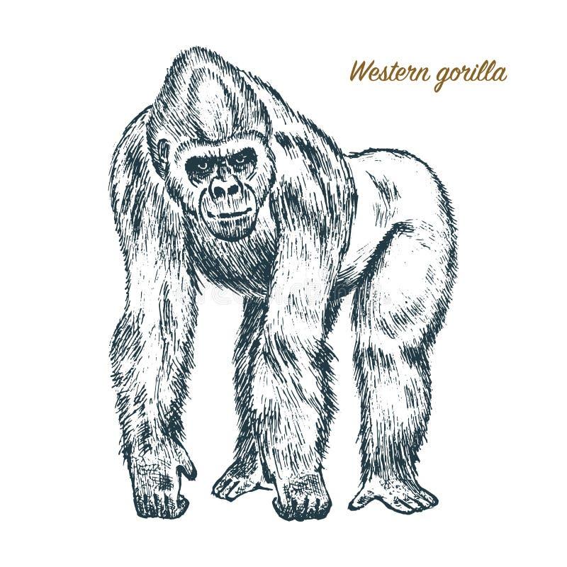 Gorilla di montagna o occidentale grande scimmia o primate Animale selvatico disegnato a mano e inciso nello stile d'annata o ret illustrazione vettoriale