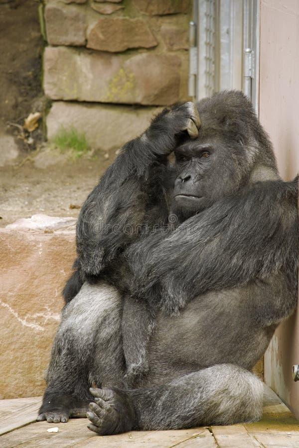 Gorilla di pensiero triste immagine stock