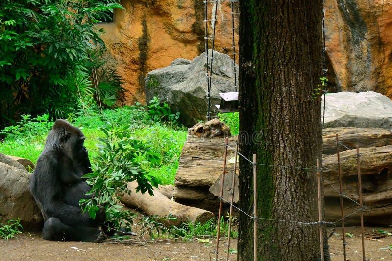 Gorilla di pianura occidentale immagine stock libera da diritti