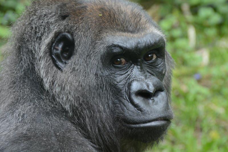 Gorilla di pianura occidentale, immagine stock libera da diritti