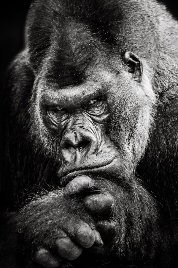 Gorilla di pianura occidentale BW II fotografia stock