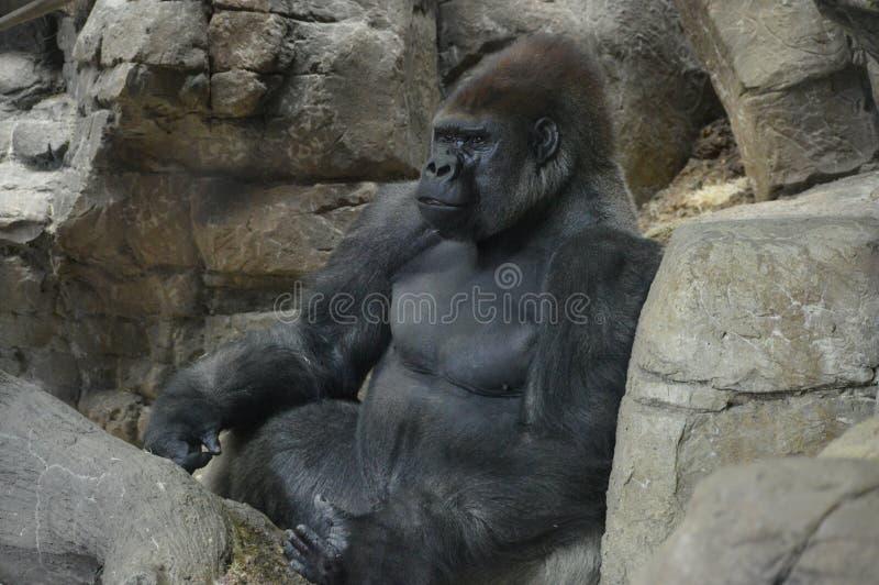 Gorilla di pianura occidentale che si siede su una roccia fotografie stock libere da diritti